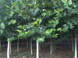 槐树有几种,国槐,刺槐,香花槐,红花槐,金叶槐,金枝槐