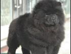 美系松狮黑松狮黄色松狮成年松狮松狮配种红松狮黑色松