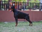 出售纯种德系 美系杜宾 专业繁殖犬舍出售 品质保证