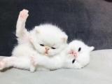 各种可爱猫咪出售!