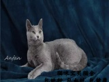 纯种蓝猫,猫舍繁殖,健康纯种,品质保障