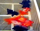 石家庄顺正渔场活体观赏鱼锦鲤兰寿泰狮优惠批发零售