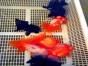顺正渔场观赏金鱼鲤鱼大批量上市提前预定