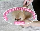 精品纯种哈多利网红俊介博美幼犬出售 包纯种保健康