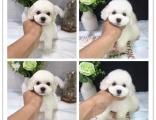 哪里有娃娃脸泰迪犬卖 精品泰迪犬 签协议保纯种