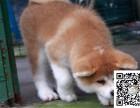 爱宠人的福音, 这里有您的专属爱宠,纯种健康秋田幼犬出售