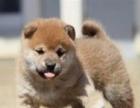纯种柴犬 健康小柴幼犬待售中 三个月健康保障 签合