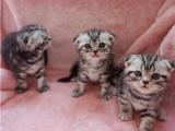 自家猫舍繁殖出售 折耳猫 签正规协议 可刷卡可送货