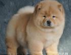送全套狗狗用品 价钱可商量 活泼可爱松狮犬.疫苗齐