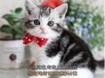 长春买猫 出售纯血统加白美国短毛猫 粉爪粉鼻正八蝴蝶纹