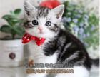 北京买猫 出售纯血统加白美国短毛猫 粉爪粉鼻正八蝴蝶纹
