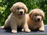 上门就特价 金毛幼犬,送用品,签协议, 可退换