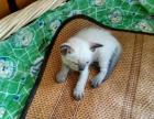 自己家繁殖的纯种暹罗猫
