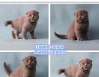 (本地性价比最高的猫舍) 蓝猫 渐层 蓝白 加菲