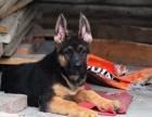 纯种的德国牧羊犬黑背多少钱 宠物店的狗靠谱吗