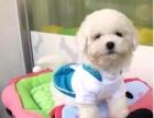纯种法系卷毛比熊犬是一种娇小的,强健的白色粉扑型犬