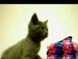 家养蓝猫一公一母都1000