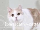 CFA苏格兰折立乳白公猫