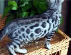CFA个人猫舍正规繁殖的纯种小豹猫粘人活泼通人性