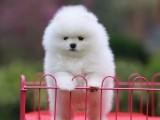 北京哪里出售纯种宠物博美