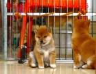 连云港柴犬怎么卖的 连云港纯种日系柴犬的价格是多少 柴犬照片