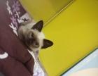 三个月暹罗母猫转让