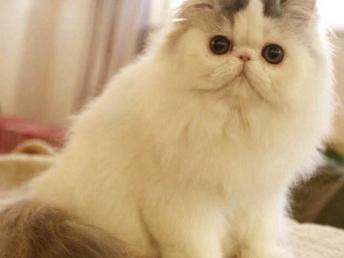 純種健康波斯貓寶寶出售 可愛活潑 血統純正