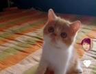 正规猫舍特价销售,银渐层,加菲猫,英短全系价格面议