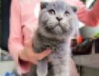 英短折耳蓝猫小公