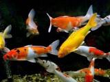 北京懷柔養殖場大量批發,零售,錦鯉 紅鯽魚
