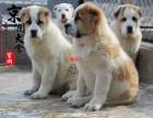 南昌哪里有卖纯种中亚牧羊犬的