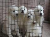 哪里有卖纯种大白熊 疫苗驱虫按时做好可签协议