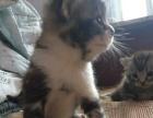 美短小猫出售中,2公2母