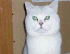 桔梗の猫窝--银渐层