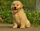 专业繁殖金毛犬 实体犬舍种公借配 三年质保签协议