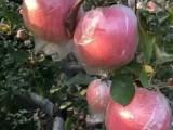 膜袋红富士苹果产地信息 红富士苹果基地价格