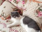 【布丁家的猫】美短加白折耳蓝白折耳银渐层种公借配
