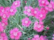 地被菊种植 哪里有提供好的地被植物