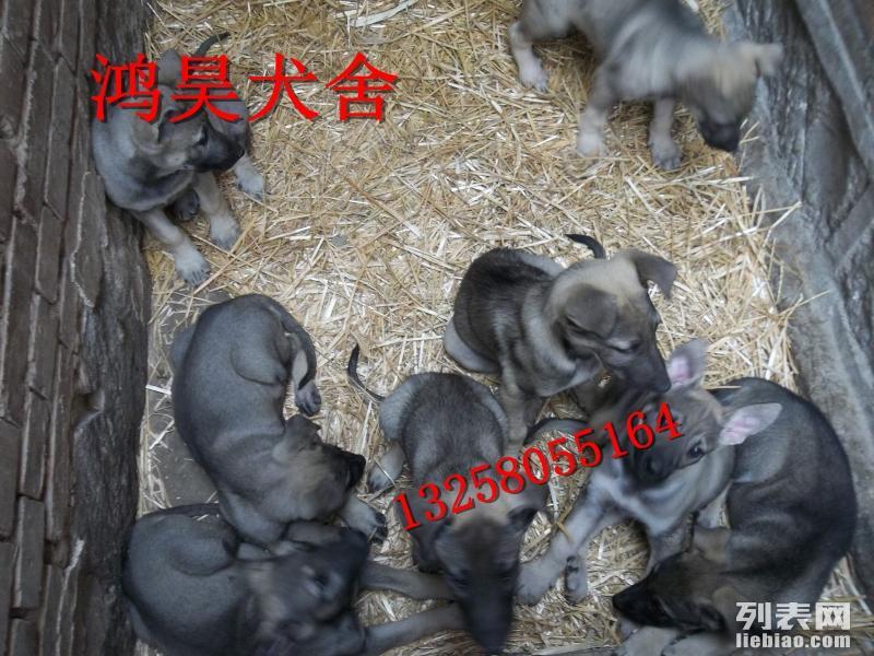 哪里的小中华狼青犬价格便宜