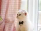 CFA猫舍出售折耳宝宝现货实拍保健康
