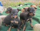 纯种小鹿犬宝宝小巧机灵惹人,特价出售终身质保、饲养指导
