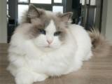 布偶猫幼猫活体海双蓝双赛级仙女猫纯种长毛猫