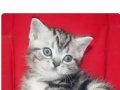 美国短毛猫,幼猫