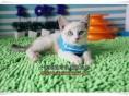 佛山买猫 出售纯种健康暹罗猫 海豹色公母均有 已做好疫苗驱虫