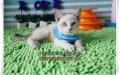 淄博买猫 蓝眼睛蓝重点色暹罗猫 最聪明的喵星人 包纯种健康