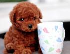 哪里出售泰迪犬 泰迪犬哪里出售