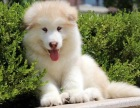 阿拉斯加犬 可视频送货 包活可体检 签协议公母齐