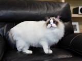 本地猫舍出售纯种健康布偶猫可上门挑选送货上门