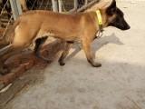 襄樊哪里有卖马犬的,马犬养殖基地,马犬价格