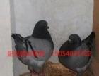 固原阳光鸽业出售大体元宝鸽,新疆乌,摩登鸽,铁翅点子,等品种